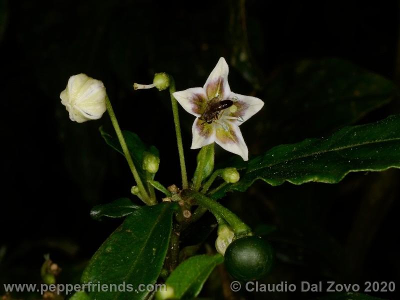 schottianum_rosso-fiore-frutto-bocciolo_