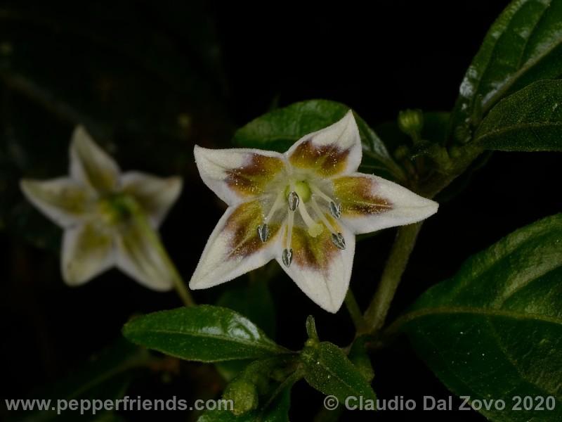 schottianum_rosso-fiori_01.jpg