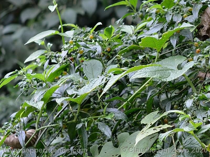 schottianum_rosso-frutti-pianta_01.jpg