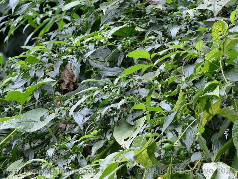 schottianum_rosso-frutti-pianta_02.jpg