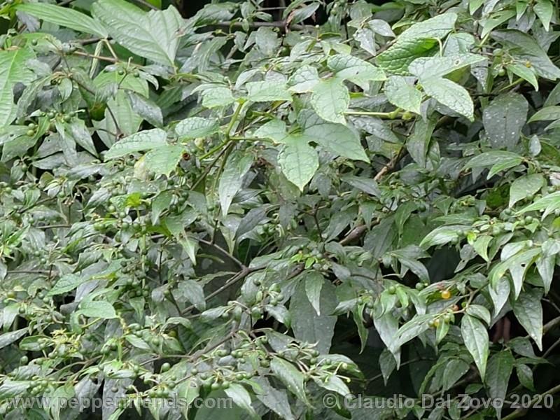 schottianum_rosso-frutti-pianta_03.jpg
