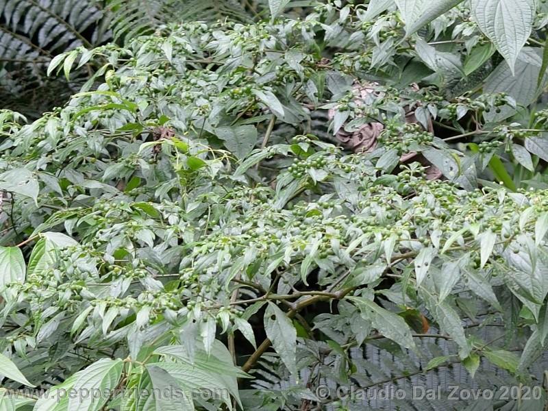 schottianum_rosso-frutti-pianta_04.jpg