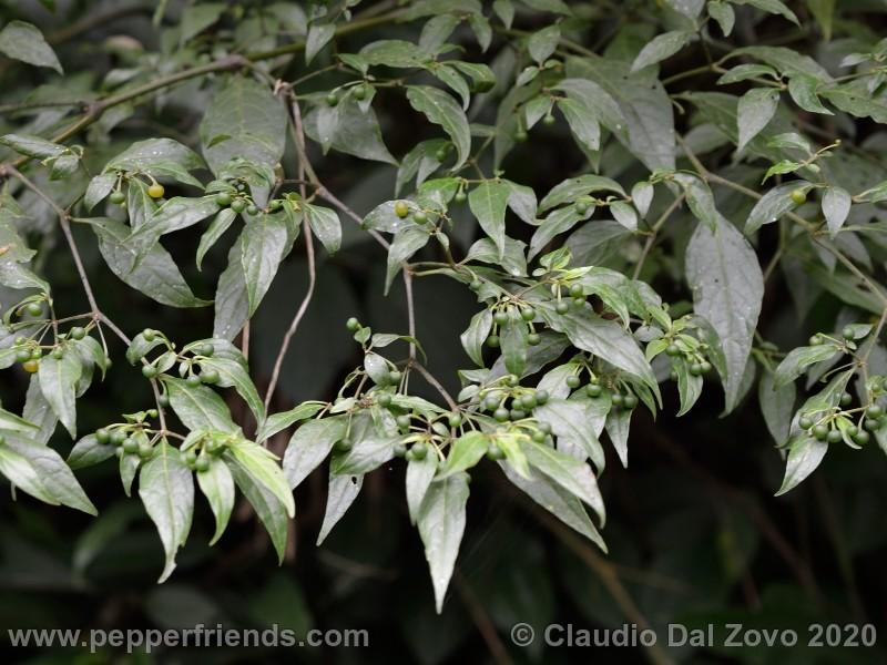 schottianum_rosso-frutti-pianta_05.jpg