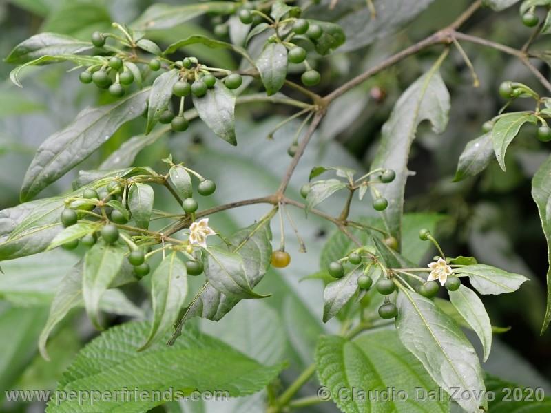 schottianum_rosso-frutti-pianta_06.jpg