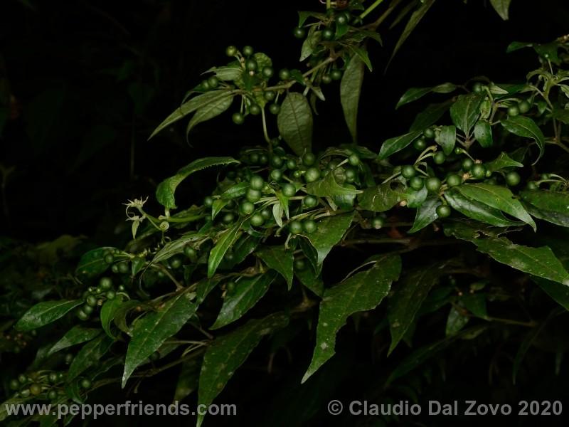 schottianum_rosso-frutti-pianta_07.jpg