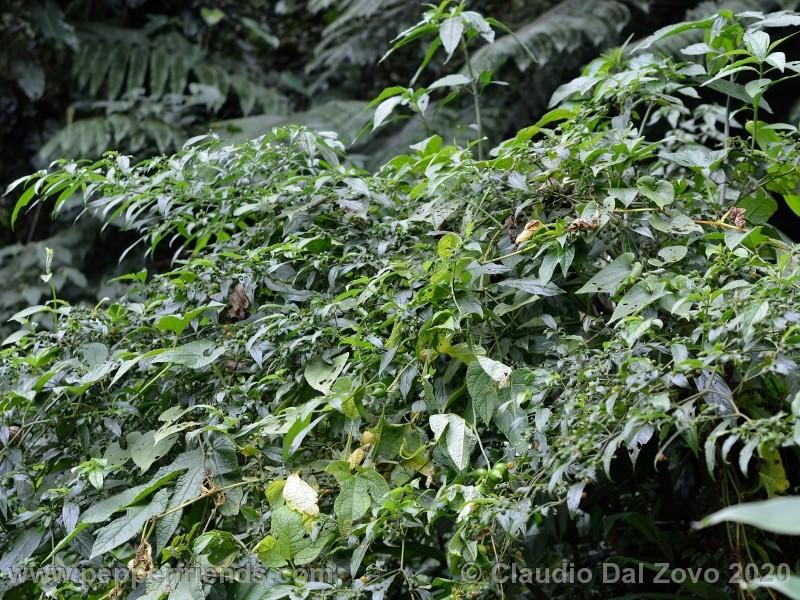 schottianum_rosso-pianta_03.jpg