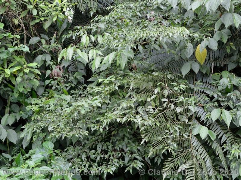 schottianum_rosso-pianta_04.jpg