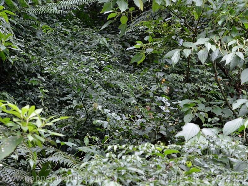 schottianum_rosso-pianta_05.jpg