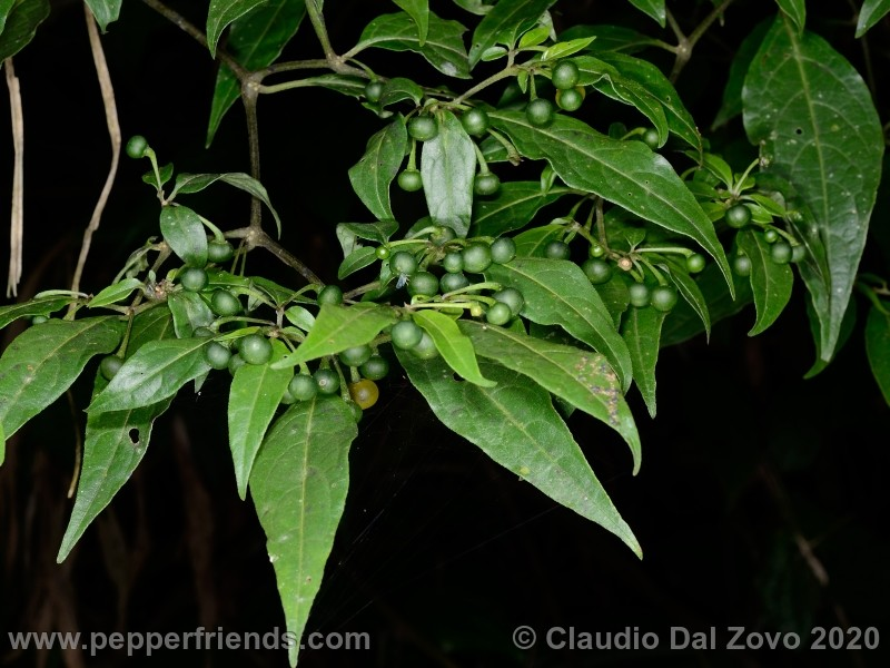schottianum_rosso-pianta_07.jpg