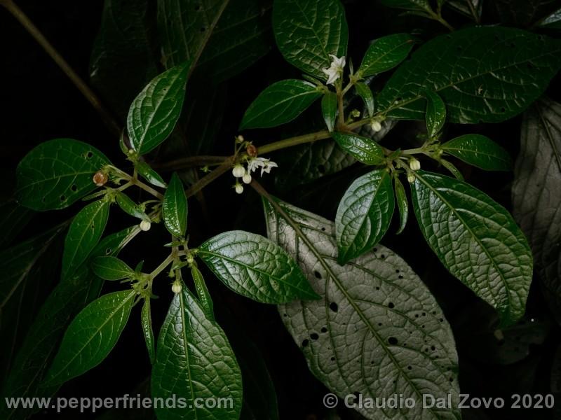 cornutum_fiori-foglie_01.jpg