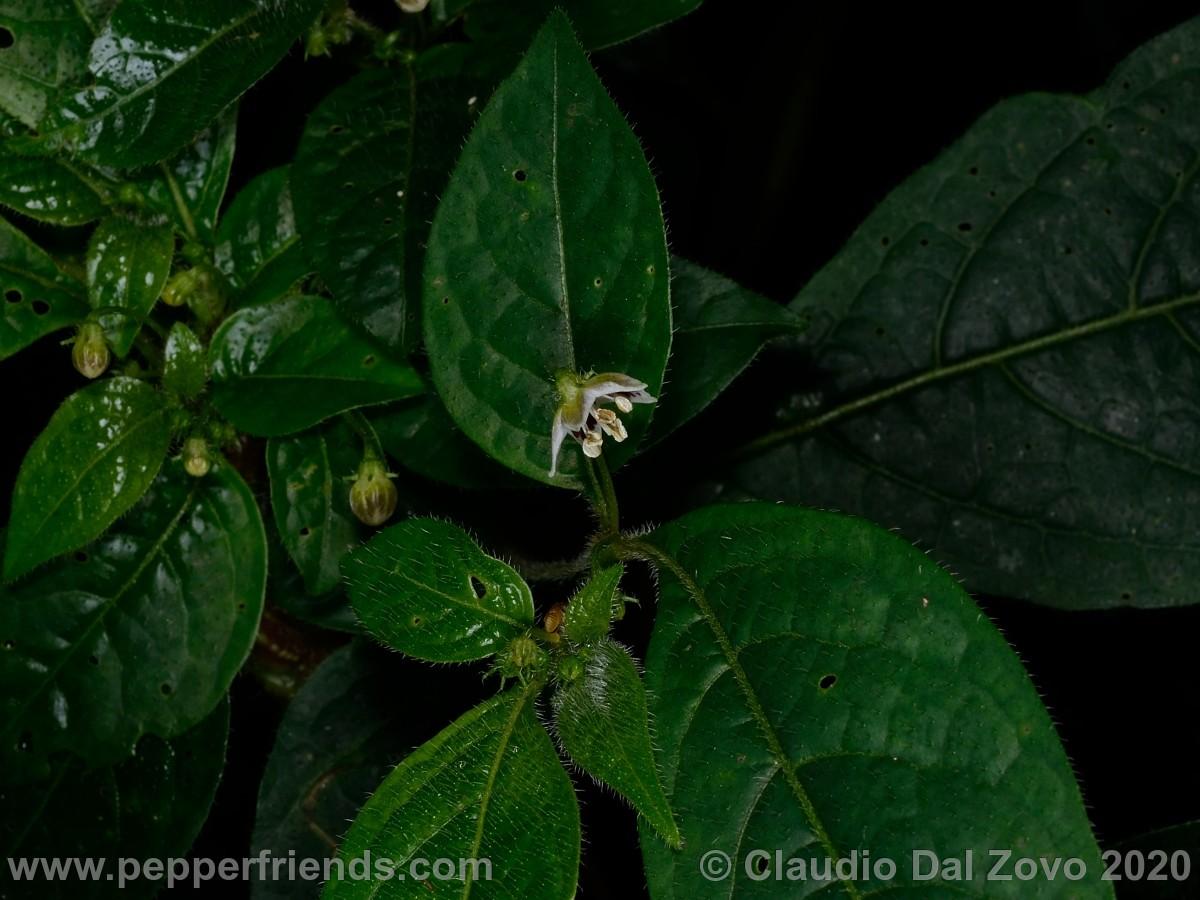 buforum_villosa-fiore-boccioli_01.jpg