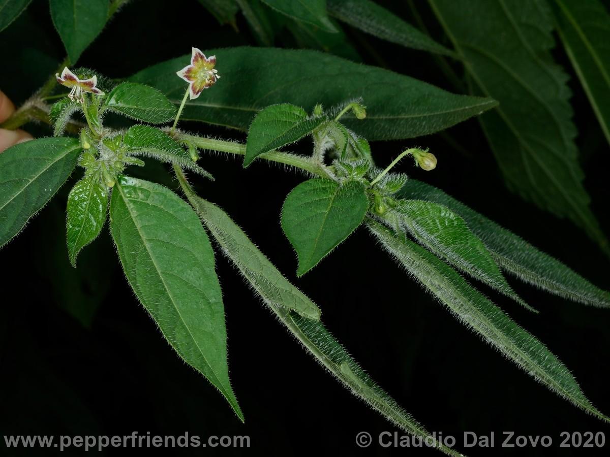buforum_villosa-fiori-foglie_01.jpg