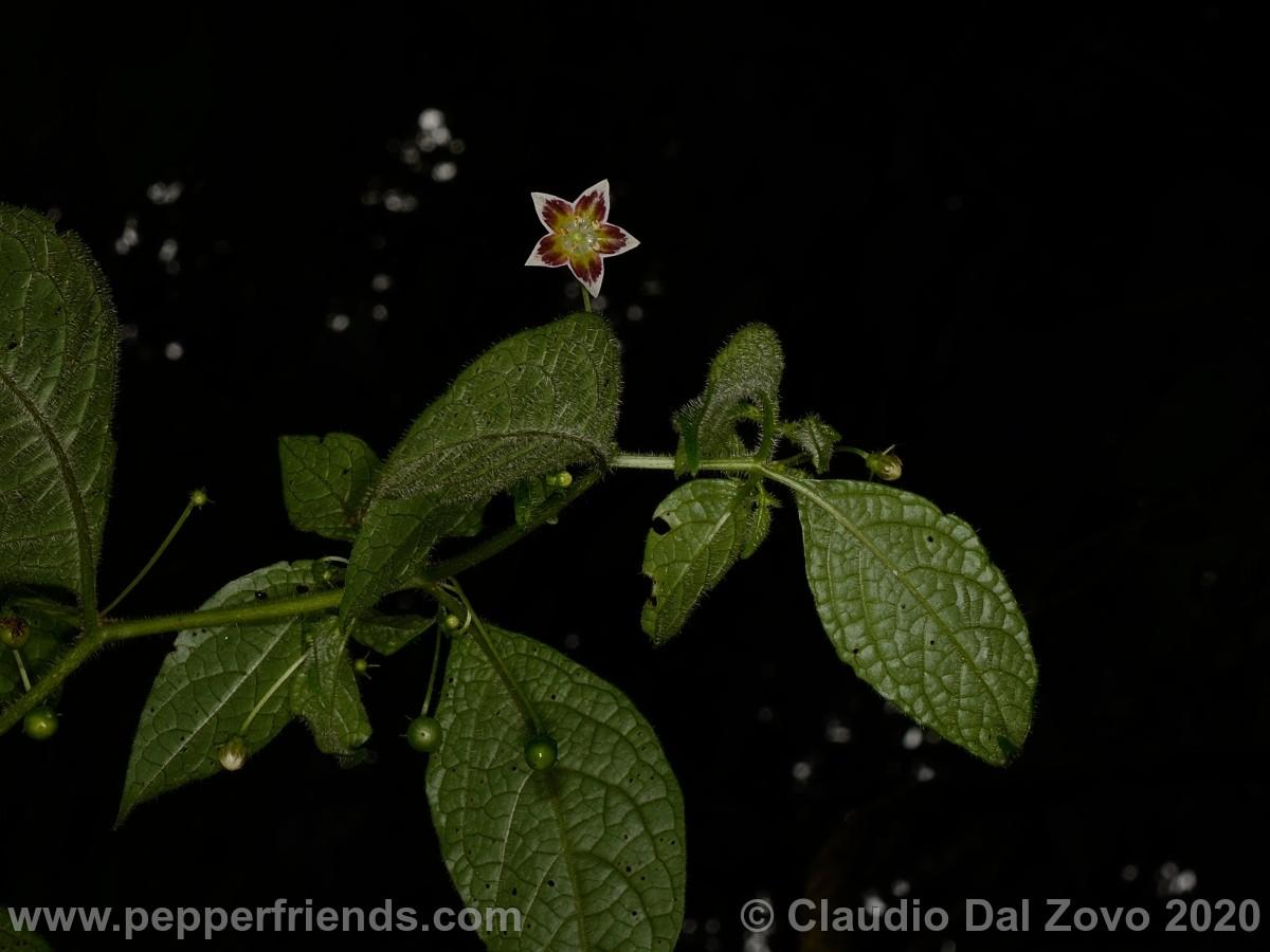 buforum_villosa-foglie-fiore_01.jpg