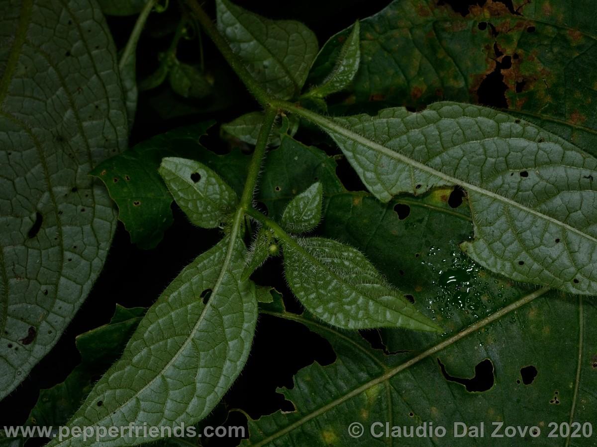 buforum_villosa-foglie_01.jpg