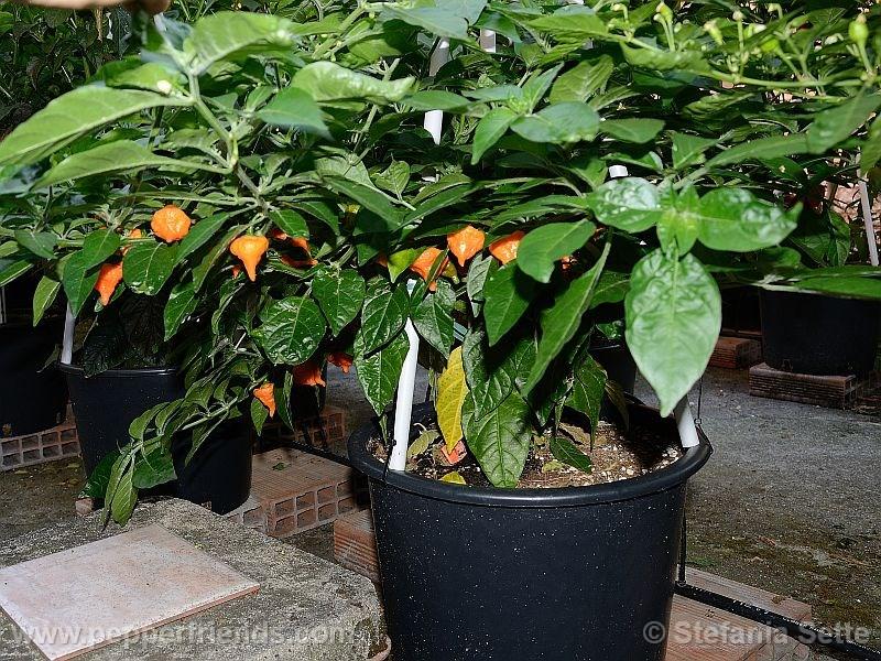 Habanero-orange-blob_001_pianta_01.jpg
