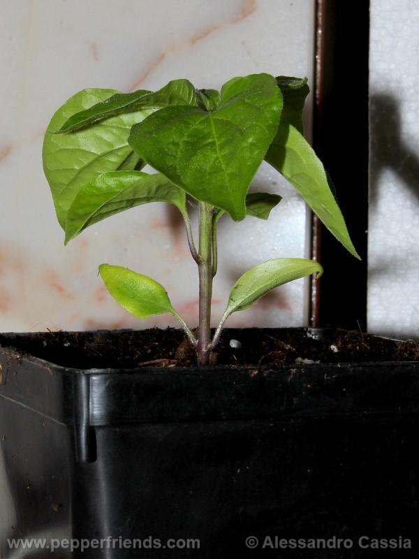 aji-verde_001_pianta_03.jpg