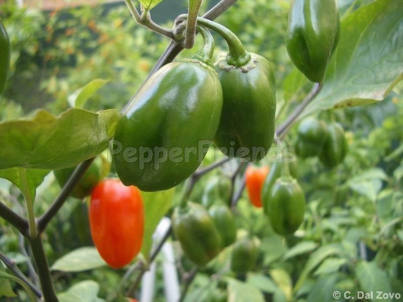 amazon-chile-roma_001_frutto_01.jpg