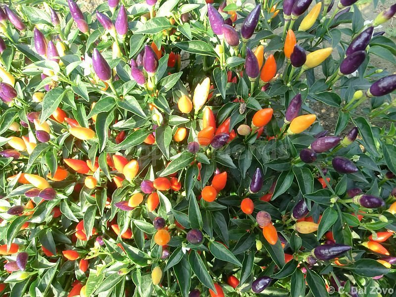 arlecchino_002_frutto_01.jpg