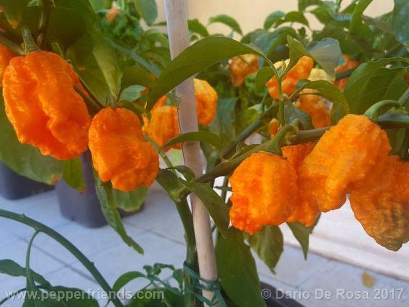 bhut-orange-copenaghen_001_frutto_07.jpg