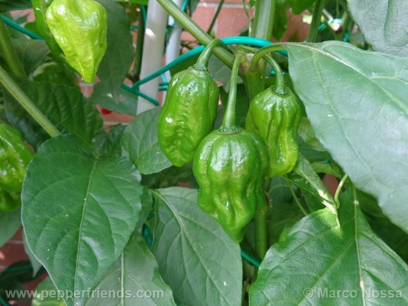 bhutjolokia-strain2_001_frutto_01.jpg