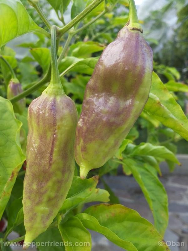 bhutjolokia-strain2_003_frutto_18.jpg