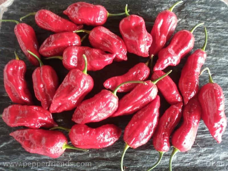bhutjolokia-strain2_003_frutto_25.jpg