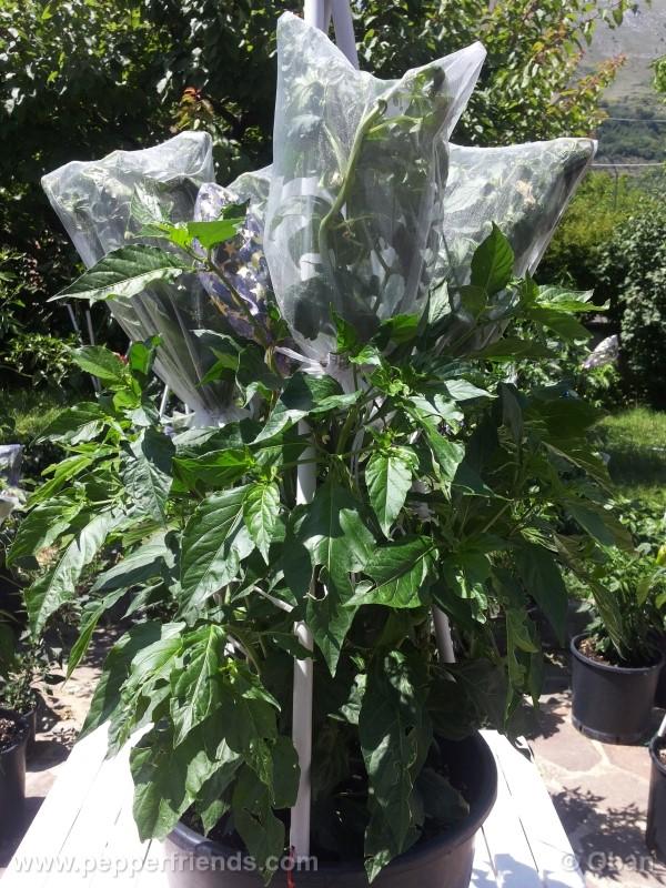 bhutjolokia-strain2_003_pianta_10.jpg