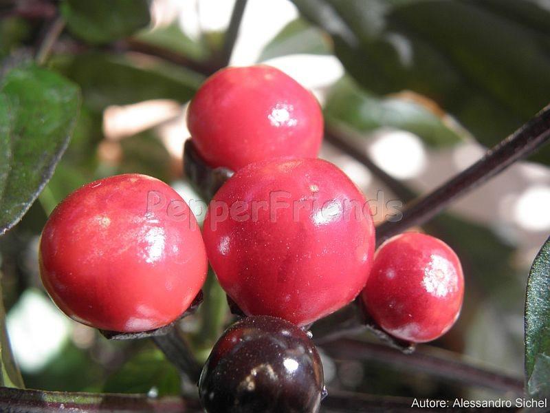 black-pearl_003_frutto_01.jpg