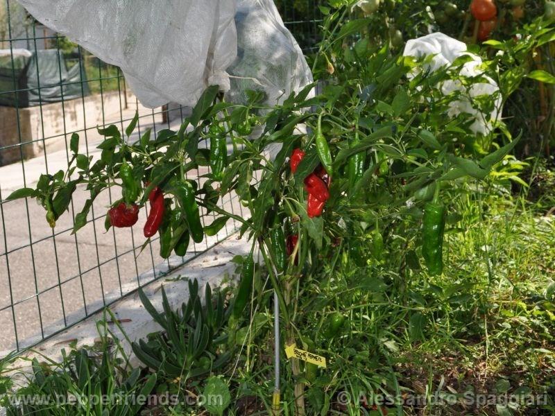 brome-pepper_001_pianta_02.jpg