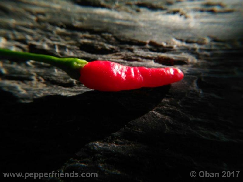 cabai-burungu-ungu_003_frutto_15.jpg
