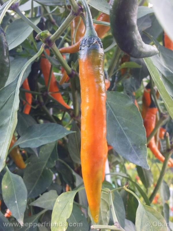 cayenne-golden_001_frutto_15.jpg