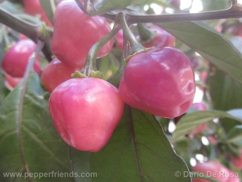 cheiro-roxa_002_frutto_04.jpg