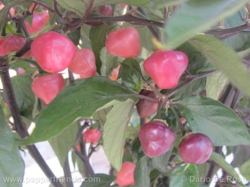 cheiro-roxa_002_frutto_07.jpg