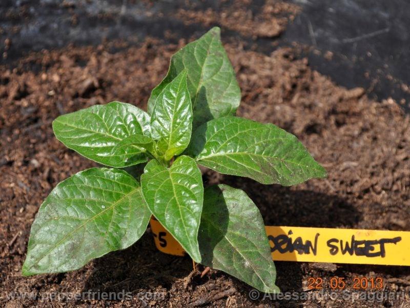 ecuadorian-sweet_001_pianta_02.jpg