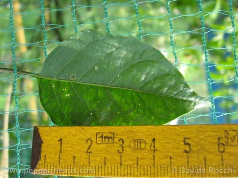 frutescens-ecuador_001_pianta_11.jpg