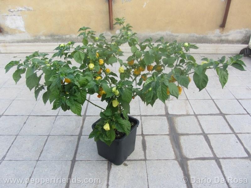 habanero-mustard_002_pianta_01.jpg