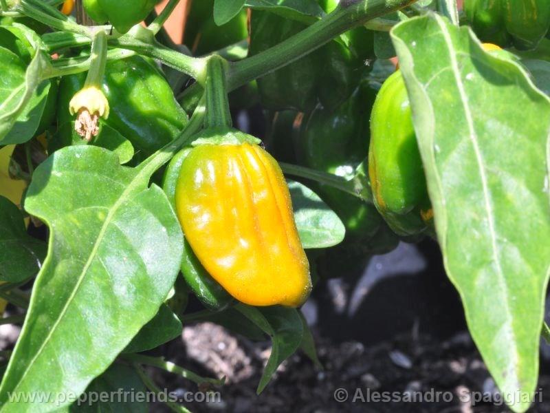 habanero-orange-devil_001_frutto_02.jpg