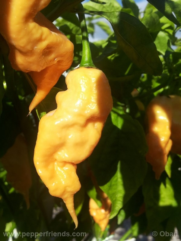jay-peach-ghost-scorpion_004_frutto_25.j
