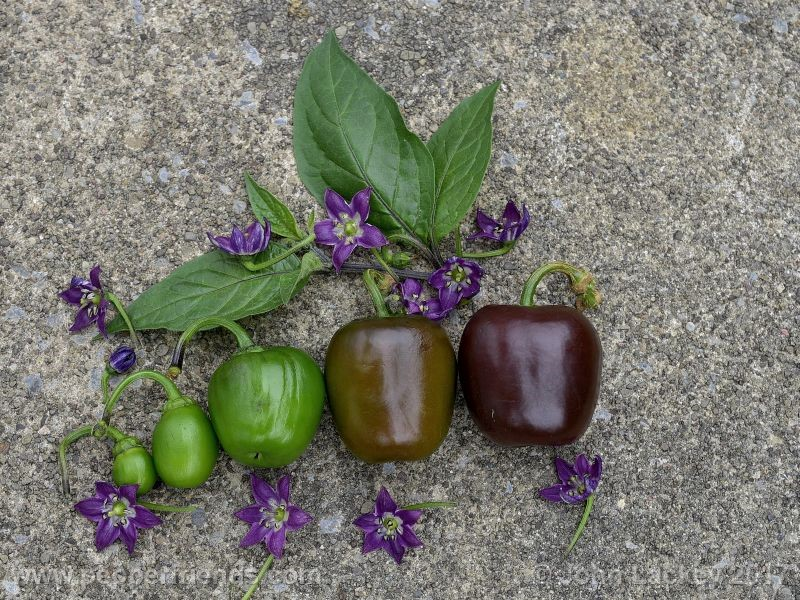large-brown-rocoto_001_frutto_09.jpg
