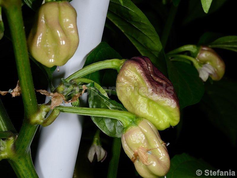 maldivian-rosa_001_frutto_02.jpg