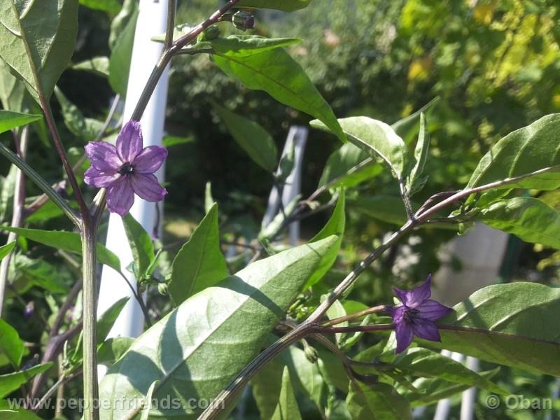 naga-jolokia-purple_001_fiore_03.jpg