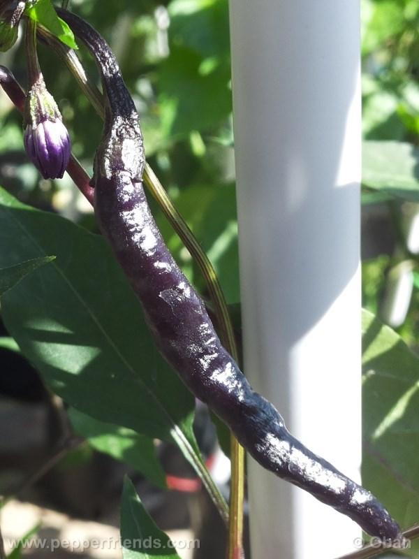 naga-jolokia-purple_001_frutto_04.jpg