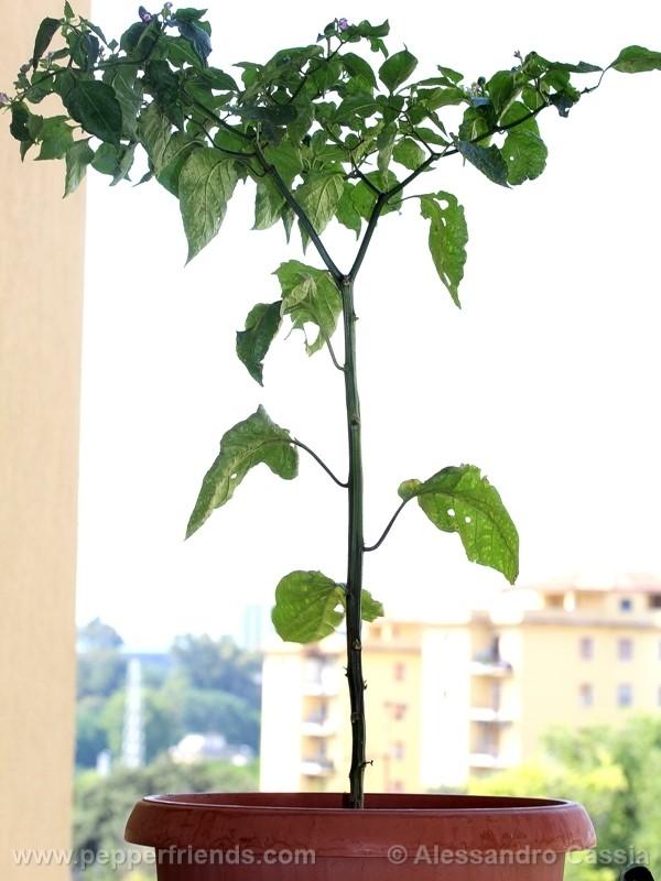 pepperlover_002_pianta_05.jpg