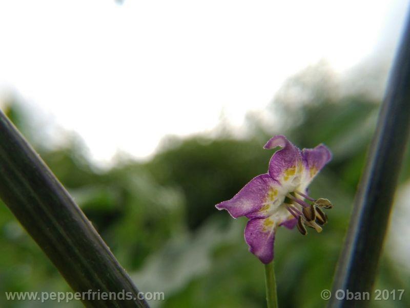 pepperlover_003_fiore_10.jpg