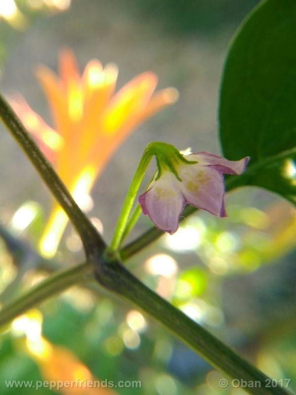 pepperlover_003_fiore_20.jpg