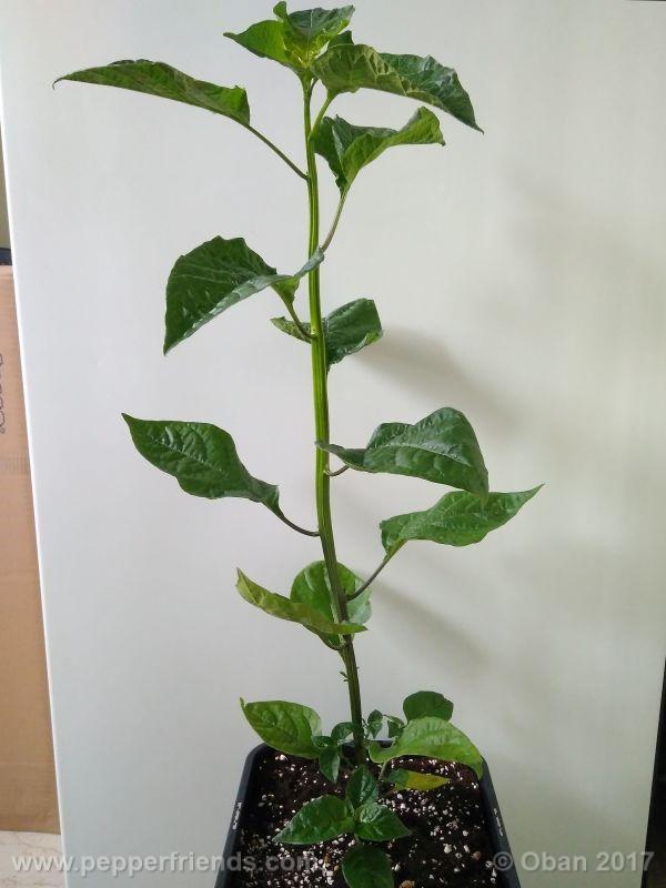 pepperlover_003_pianta_21.jpg