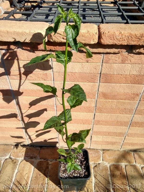pepperlover_003_pianta_22.jpg
