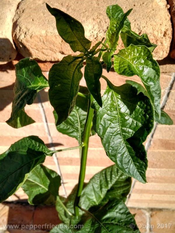 pepperlover_003_pianta_23.jpg