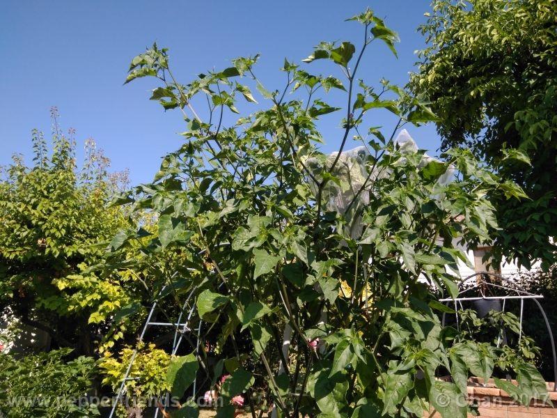 pepperlover_003_pianta_31.jpg