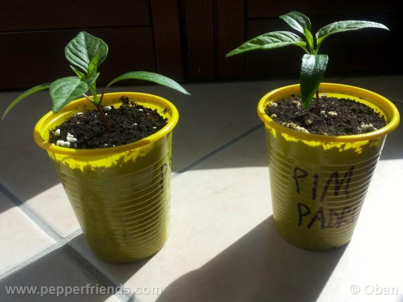 pimenta-de-padron_001_pianta_02.jpg